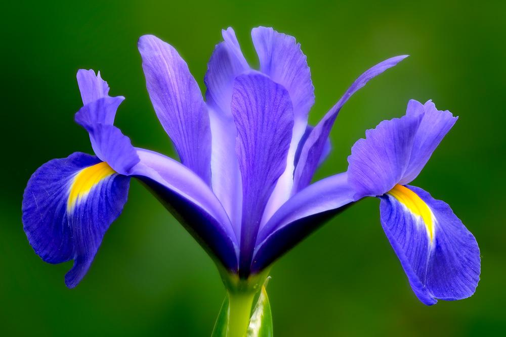 springtime-iris 2
